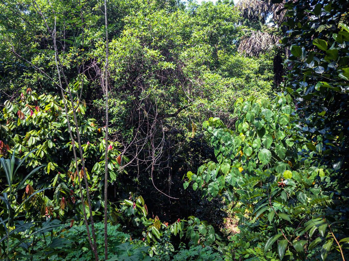Des épices qui poussent en pleine forêt tropicale en permaculture au Sri Lanka, un véritable modèle de forêt-jardin