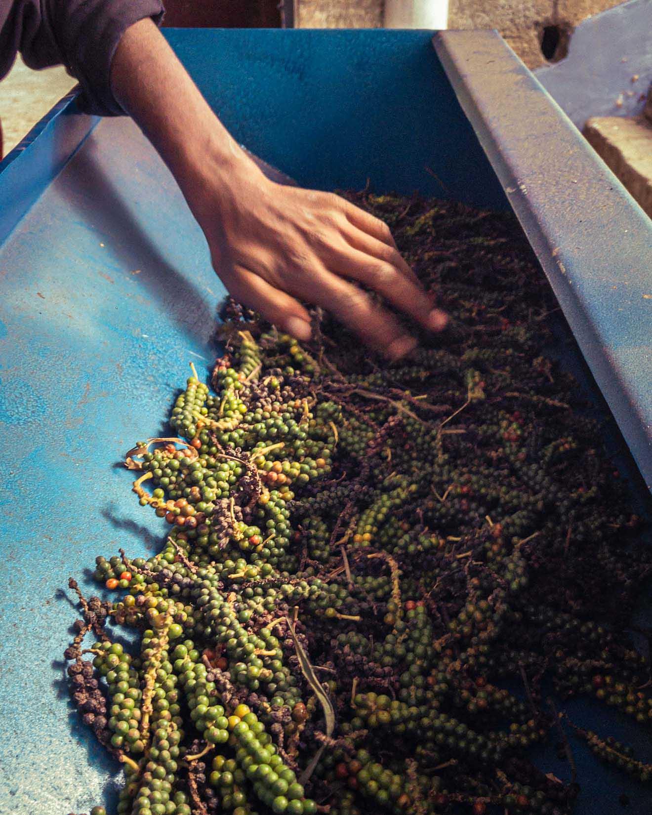 Un jardin de thé et des plantations de cardamome secrètement placés au cœur d'une végétation luxuriante en Inde du Sud